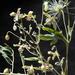 Clematis orientalis - Photo (c) Ori Fragman-Sapir, todos los derechos reservados