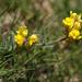 Linaria aeruginea nevadensis - Photo (c) Ingeborg van Leeuwen, todos los derechos reservados, uploaded by wildchroma