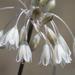 Allium paniculatum paniculatum - Photo (c) Ori Fragman-Sapir, todos los derechos reservados