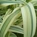 Arundo donax versicolor - Photo (c) Alexander Parsons, todos los derechos reservados