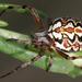 Neoscona adianta - Photo (c) gernotkunz, όλα τα δικαιώματα διατηρούνται