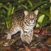 Gato de Las Islas de la Sonda - Photo (c) matthewkwan, todos los derechos reservados
