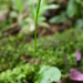 Stalked Adder's-Tongue - Photo (c) David Tng, all rights reserved