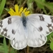 Checkered White - Photo (c) Kristin Kersten, all rights reserved