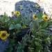 Ranunculus grayi - Photo (c) Declan Troy, todos los derechos reservados