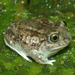 Plains Spadefoot - Photo (c) mikeygraz, all rights reserved, uploaded by Michael Graziano