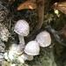 Squamanita fimbriata - Photo (c) Ryan Terrill, todos los derechos reservados