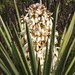 Yucca treculeana - Photo (c) Tripp Davenport, כל הזכויות שמורות