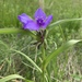 Western Spiderwort - Photo (c) mlakey, all rights reserved