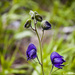 Aconitum delphiniifolium - Photo (c) Ryan Marquis, כל הזכויות שמורות, uploaded by ryanmarquis
