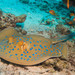 Bluespotted Fantail Ray - Photo (c) Lesley Clements, all rights reserved