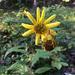 Helianthus resinosus - Photo (c) jtuttle, כל הזכויות שמורות