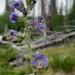 Polemonium occidentale occidentale - Photo (c) Tempe Regan, todos los derechos reservados
