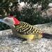 Hispaniolan Woodpecker - Photo (c) David Matías, all rights reserved