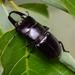 Serrognathus titanus castanicolor - Photo (c) WonGun Kim, todos los derechos reservados