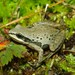 Cajun Chorus Frog - Photo (c) mikeygraz, all rights reserved, uploaded by Michael Graziano