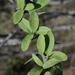 Balanites aegyptiaca - Photo (c) Ori Fragman-Sapir, todos os direitos reservados