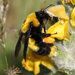 Bombus melanurus - Photo (c) Ingeborg van Leeuwen, all rights reserved, uploaded by wildchroma