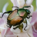 Beetles - Photo (c) BJ Stacey, all rights reserved
