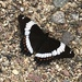 Western White Admiral - Photo (c) Siobhan Stromquist, all rights reserved