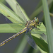 River Clubtail - Photo (c) Alexandro Minicò, all rights reserved