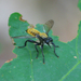 Bee-like Robber Flies - Photo (c) John Beatty, all rights reserved