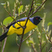 Hooded Mountain-Tanager - Photo (c) Judd Patterson, all rights reserved