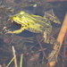 Water Frogs - Photo (c) Bart, all rights reserved, uploaded by BJ Smit