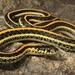 Thamnophis sirtalis annectens - Photo (c) colin-mcdonald, כל הזכויות שמורות