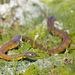 Notechis scutatus - Photo (c) Judd Patterson, כל הזכויות שמורות