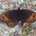 Piedmont Ringlet - Photo (c) Bruno Ponsonnaille, all rights reserved