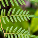 Southern Brackenfern - Photo (c) B Mlry, some rights reserved (CC BY-NC-ND)
