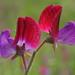 Chícharo de Flor - Photo (c) Ori Fragman-Sapir, todos los derechos reservados