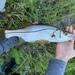 Tarpon Snook - Photo (c) species_spotlight, all rights reserved