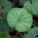 Alchemilla orbiculata - Photo (c) Topiltzin Contreras, todos los derechos reservados