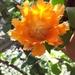 Cactus Árbol del Matrimonio - Photo (c) Jadiel Umanzor, todos los derechos reservados