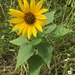 Common Sunflower - Photo (c) Lauri Shoemaker, all rights reserved