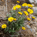 Alpine Yellow Fleabane - Photo (c) Wendy Feltham, all rights reserved