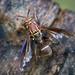 Polybiomyia schnablei - Photo (c) jciv, todos los derechos reservados, uploaded by Joseph C