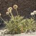 Echinops cornigerus - Photo (c) Ori Fragman-Sapir, todos los derechos reservados