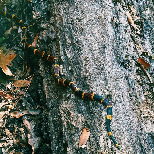 Texas Coral Snake (Reptiles & Amphibians Of The Houston