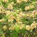 Ulmus minor - Photo (c) rolandwirth, όλα τα δικαιώματα διατηρούνται