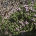 Thymus baicalensis - Photo (c) Alexei Sutkin, all rights reserved