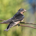 Barn Swallow - Photo (c) Jay Bird, all rights reserved