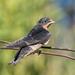 Golondrina Tijereta - Photo (c) Jay Bird, todos los derechos reservados