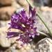 Allium fimbriatum fimbriatum - Photo (c) Jay Keller, todos os direitos reservados, uploaded by Jay L. Keller
