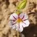 Viscid Monkeyflower - Photo (c) Jordan Carter, all rights reserved
