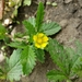 Rough Cinquefoil - Photo (c) Katie Suek, all rights reserved