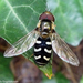 Holarctic Pied Hover Fly - Photo (c) Miranda Engelshoven, all rights reserved