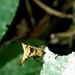 Micrathena beta - Photo (c) Isaac Oliveira, todos los derechos reservados
